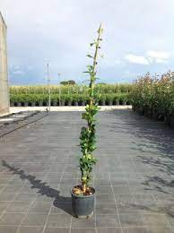toscaanse jasmijn